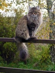 Siberian_cat_in_summercoat